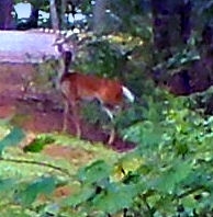 deer at Lake hartwell, poplar springs copyright Dear Miss Mermaid http://dearmissmermaid.com