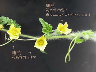すいかの花-種が危ない