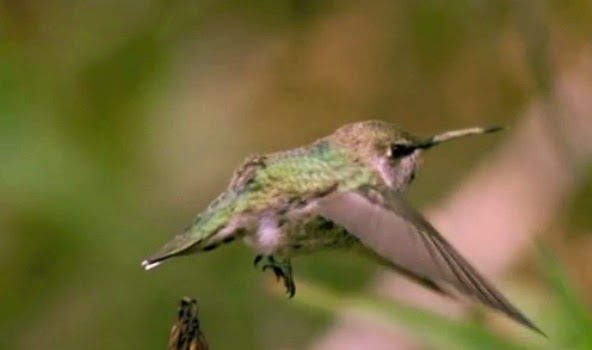 kepak-sayap-kolibri