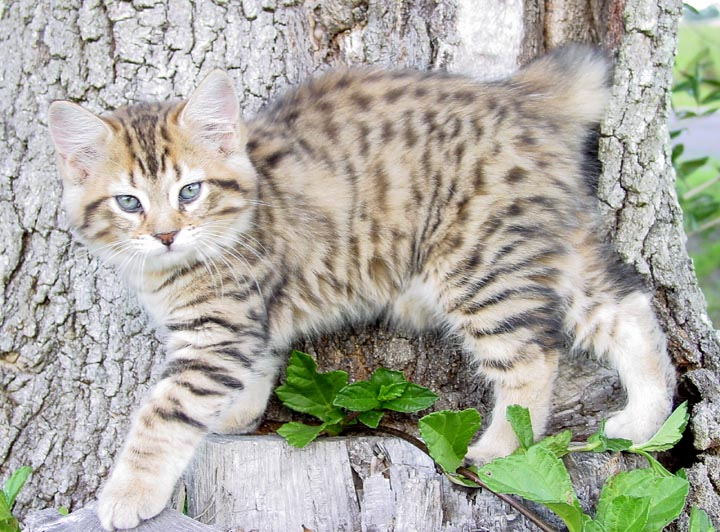 sphynx cat for sale texas