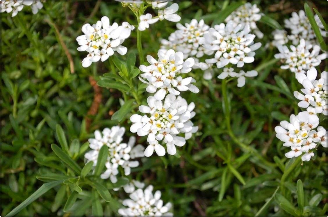 Iberis, ognjica, snježak (lat. Iberis) - Moj Vrt Cvijeća