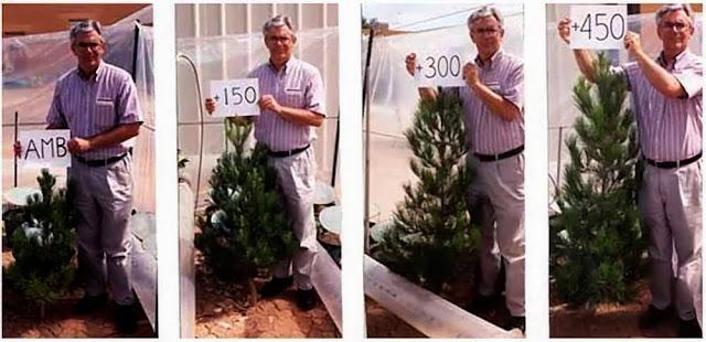Pinheiros: com maiores doses de CO2 cresceram mais