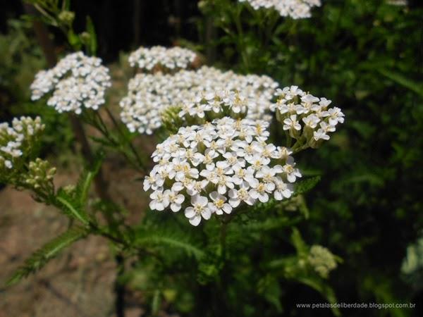 Flores, branca