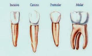 http://benitac76.blogspot.com.es/2009/09/los-dientes-clases-tipos-y-funciones.html