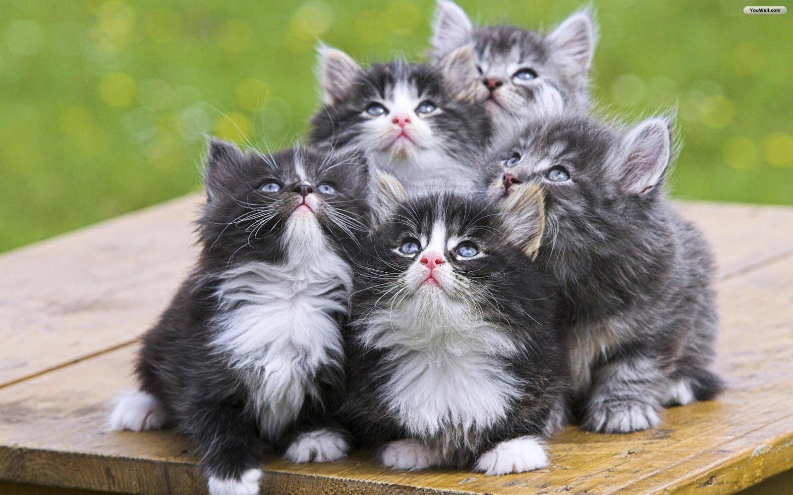 http://2.bp.blogspot.com/-BTURQoNX4bw/T0DMHbjaFlI/AAAAAAAAAm0/hKBB1sxG1Rc/s1600/cute_little_cats_wallpaper_ce5e9.jpg