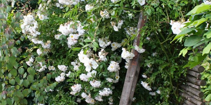 Rosa helenae 'Lykkefund'