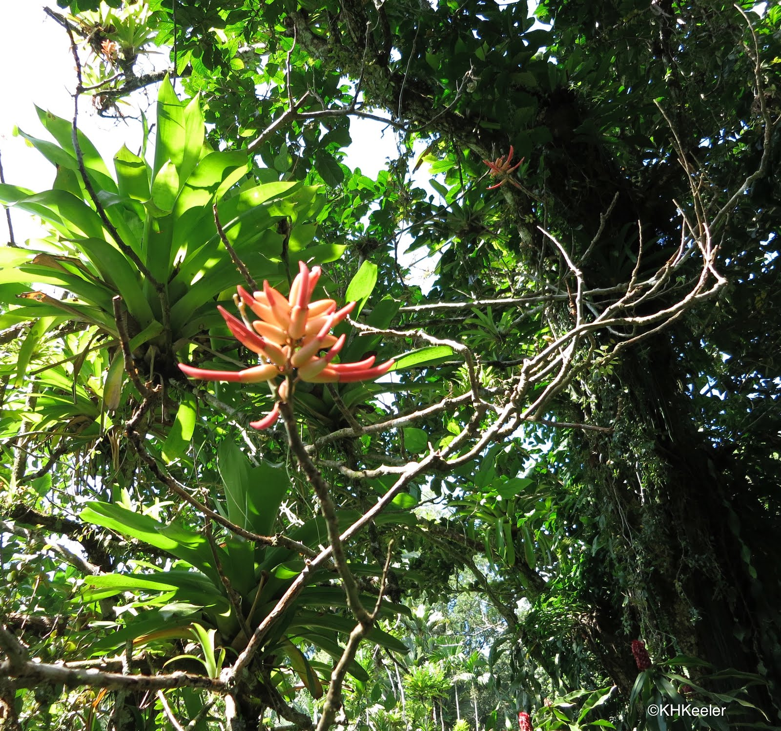 A wandering botanist plant story coral trees the erythrina species hawaii has an endemic coral tree erythrina sandwichensis the hawaiian name is wiliwili wili means twisted referring to the way the seed pods twist open izmirmasajfo
