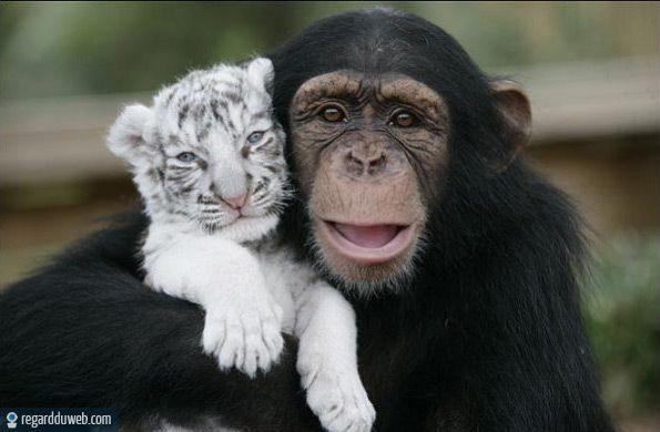 chimpanzé - Des milliers de photos drôles et insolites
