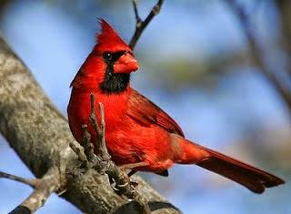 Aves Canoras o de Ornato