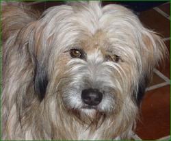 Mon Milou petit berger Pyrénéen  originaire d'Azereix (65)