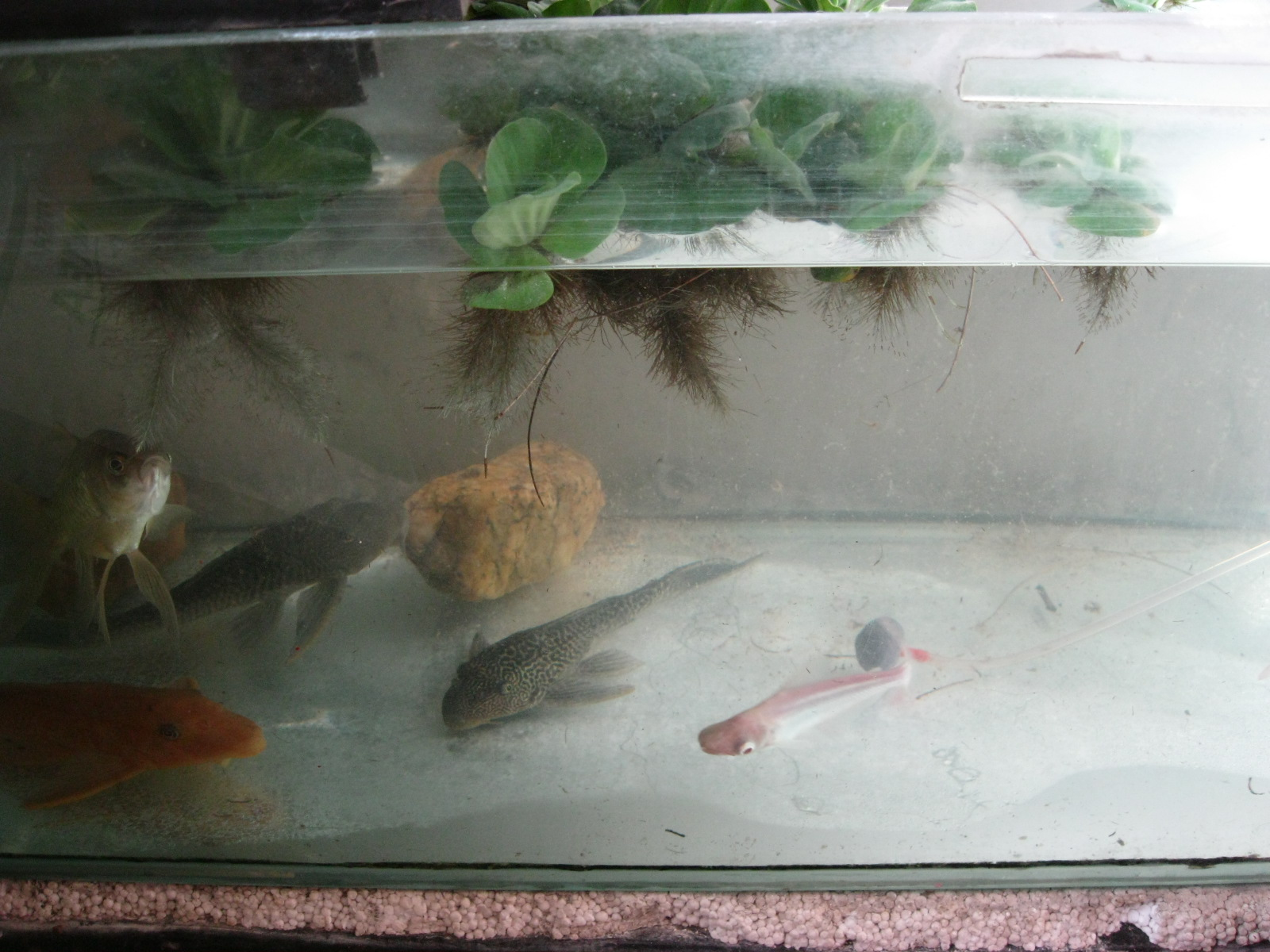 Experiments with aqua phonics mumbai fish tank cleaning for Fresh water tank cleaning fish
