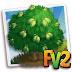 FV 2 Ceylon Satinwood (Elder ,Heirloom, Tree )