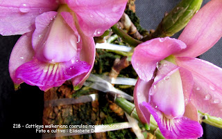 Cattleya walkeriana Tipo do blogdabeteorquideas