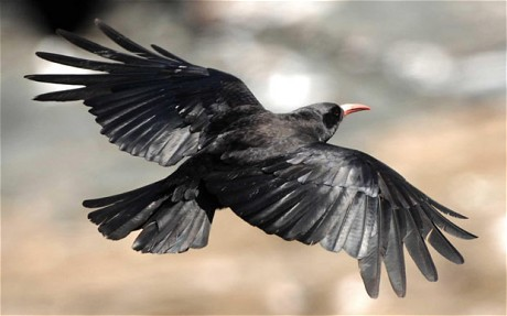 Crow, Flying Crow, Flying, Black