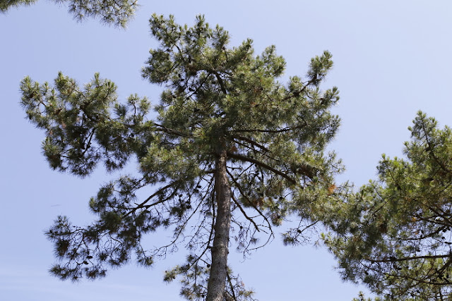 Pine tree tops