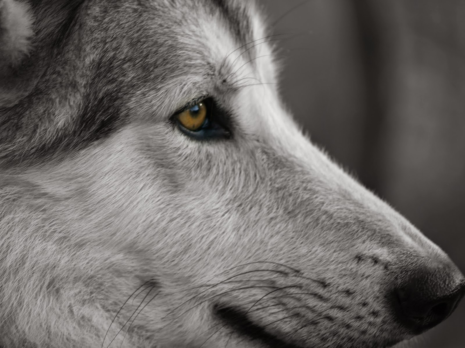 wolfdog eye color