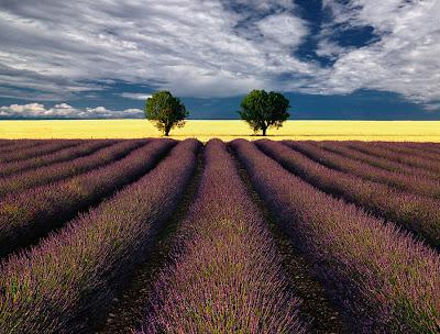 Árboles gemelos en los campos de lavanda - Lavender