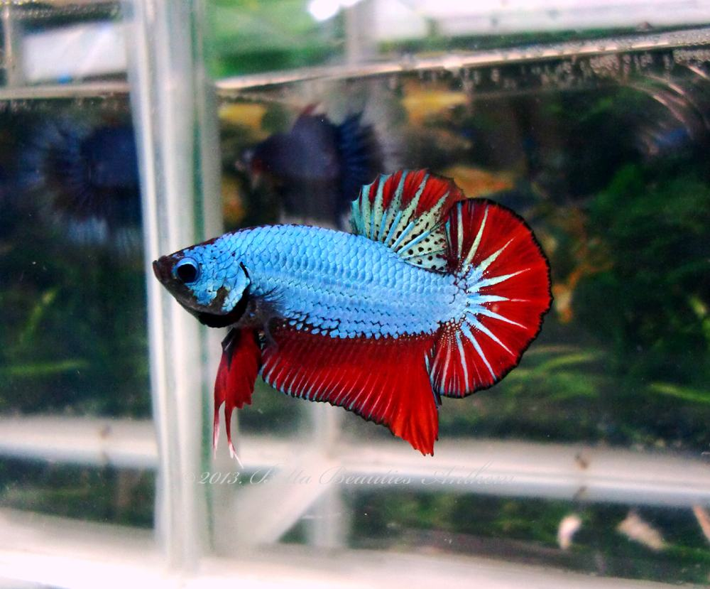 PG\'s Betta Store: April 2013