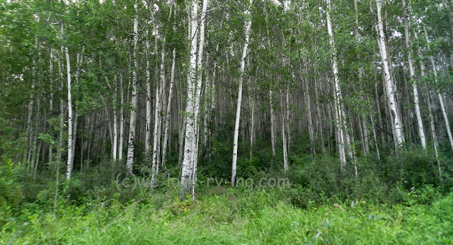Groves of aspen trees line the road