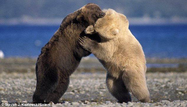 Climate Change Creates Pizzly Bears on Arctic Ecosystem
