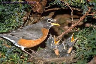 Robins.bmp