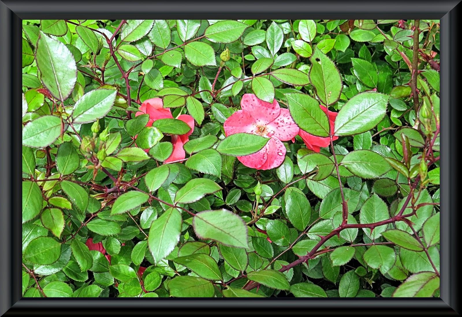 Jardin alsace vignoble - Rosier douceur normande ...