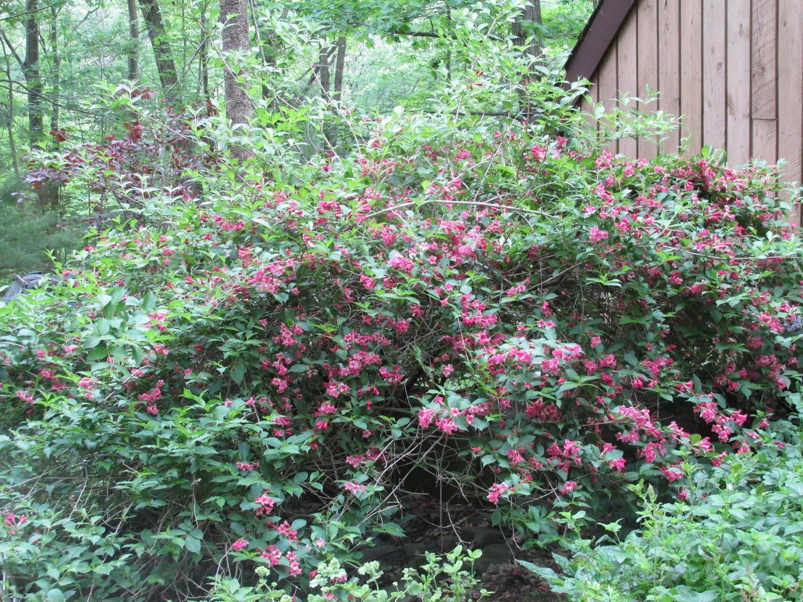 grandma pearl 39 s backporch weigela shrubs hummingbird magnets. Black Bedroom Furniture Sets. Home Design Ideas