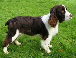 english springer spaniel puppies animal pets dog wallpaper dogs