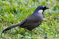 burung poksay ( garrulax chinensis )