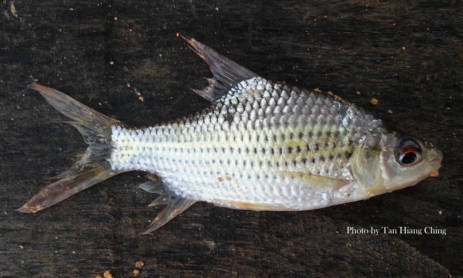 Cyprinids (Barbs) - Talk About Fish