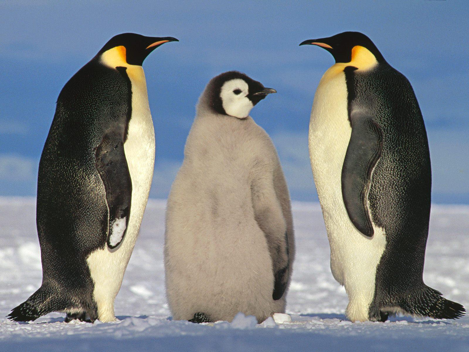http://2.bp.blogspot.com/-BWjKmoSgH4c/TjmN12b9HyI/AAAAAAAAAOI/PWNLF06YVLM/s1600/Penguin+Wallpapers+3.jpg