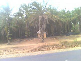 Dijual Tanah Perkebunan Kelapa Sawit - Lebak
