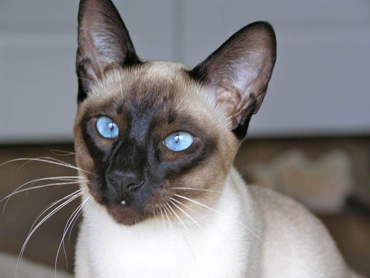 Carolina Blues Cattery Siamese Kittens for Sale