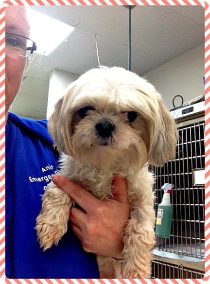 ): Urgent! Abandoned at vet. Tiny Shih Tzu needs rescue/adoption