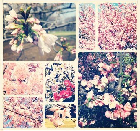 cherry blossom viewing in Shinjuku gyoen tokyo