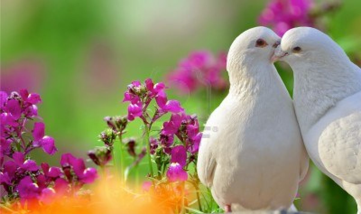 Love Dove Beautiful Wallpaper : ????? ????? : ????? ?? ?????