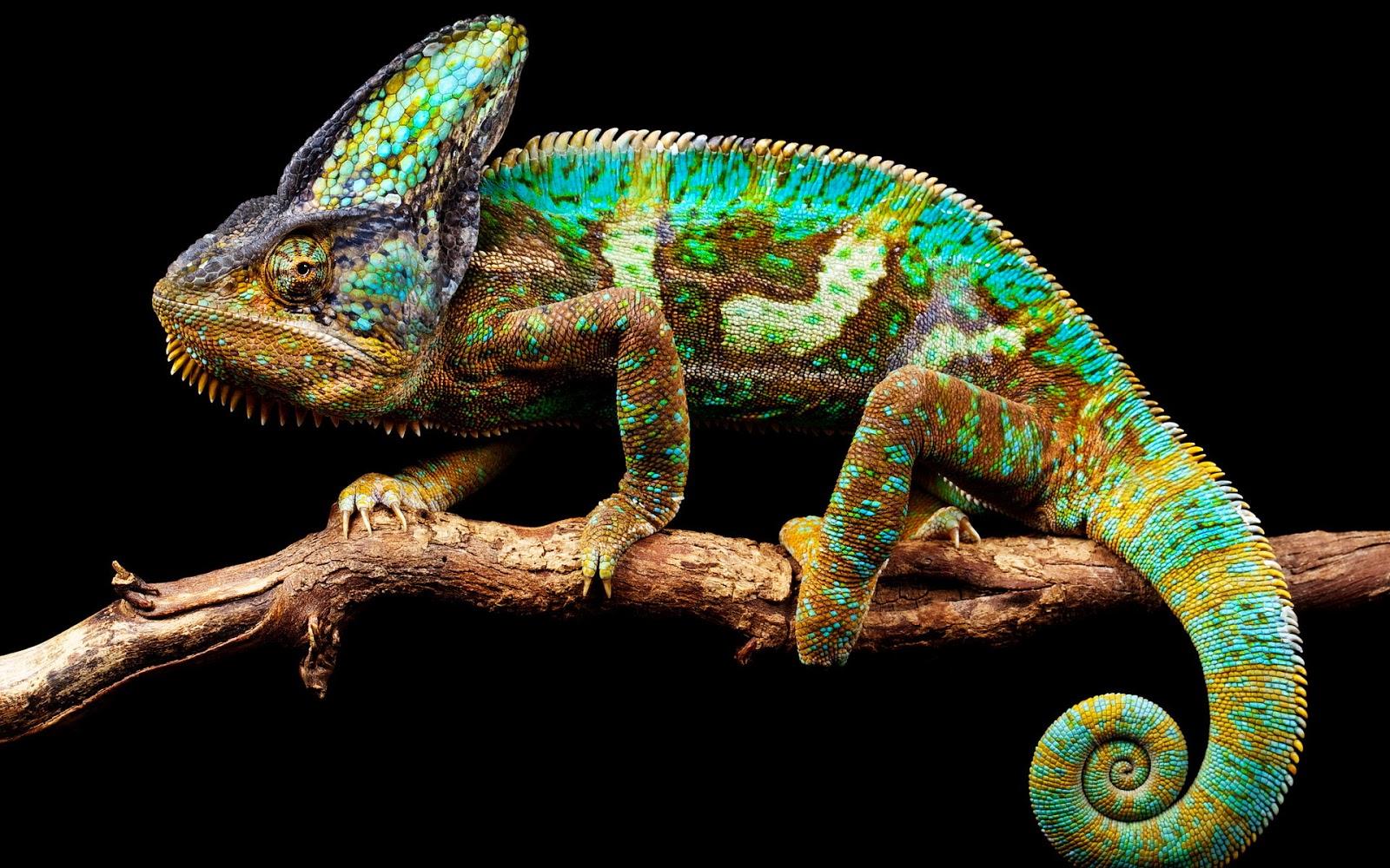chameleon wallpaper 9661 - photo #9