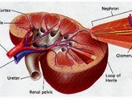 Nguyên nhân viêm cầu thận mạn tính và cách phòng tránh