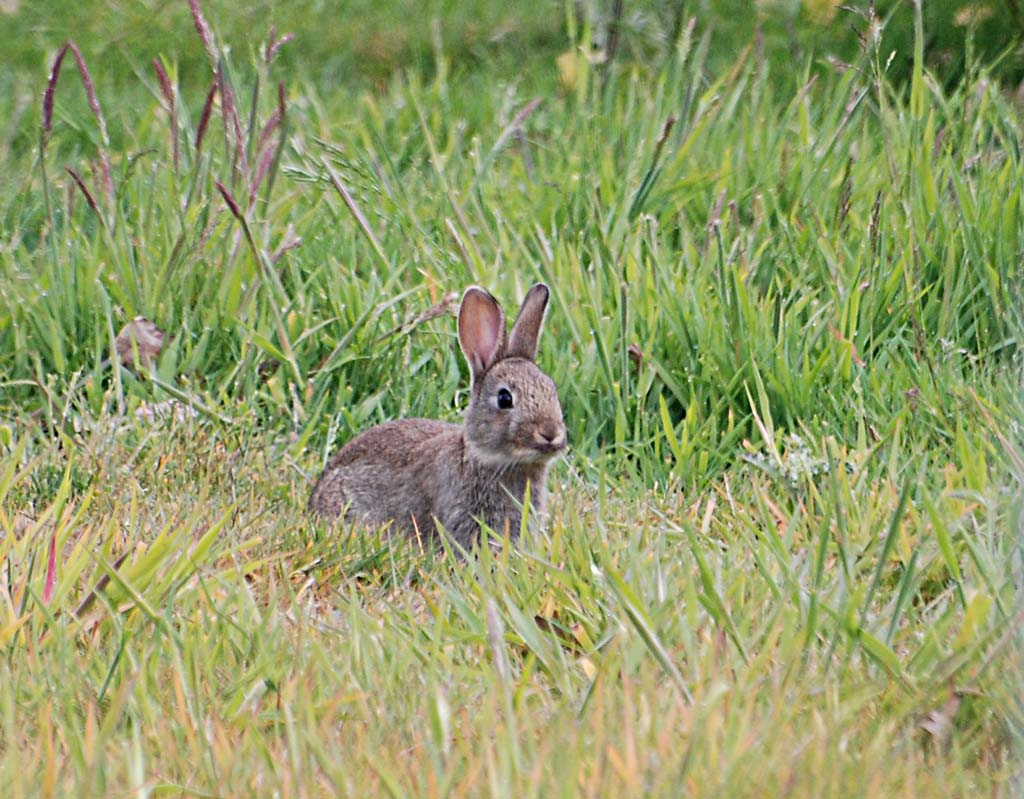 Wild newborn rabbits - photo#15