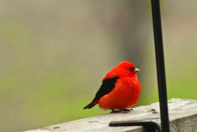 scarlet tanager on deck rail