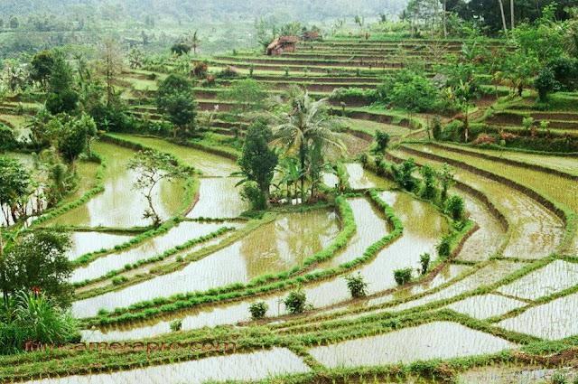 Sidemen Rice Terrace