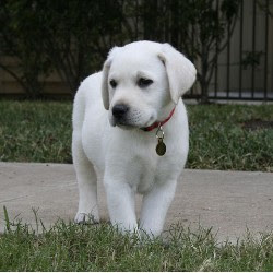 White  Puppies on White Labrador Dogs Labrador Dogs Images Animals Pic Animals
