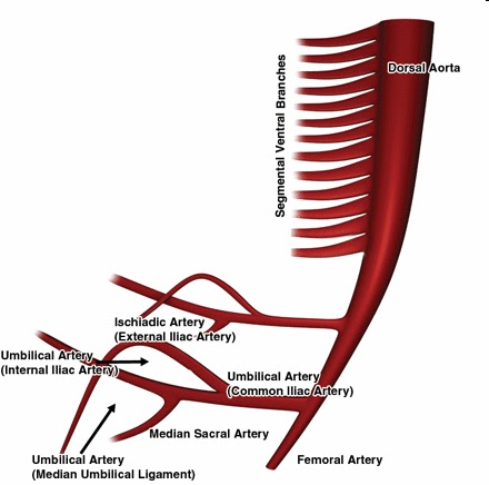 The Pump And The Tubes The Double Aorta And Mesenteric Arterial