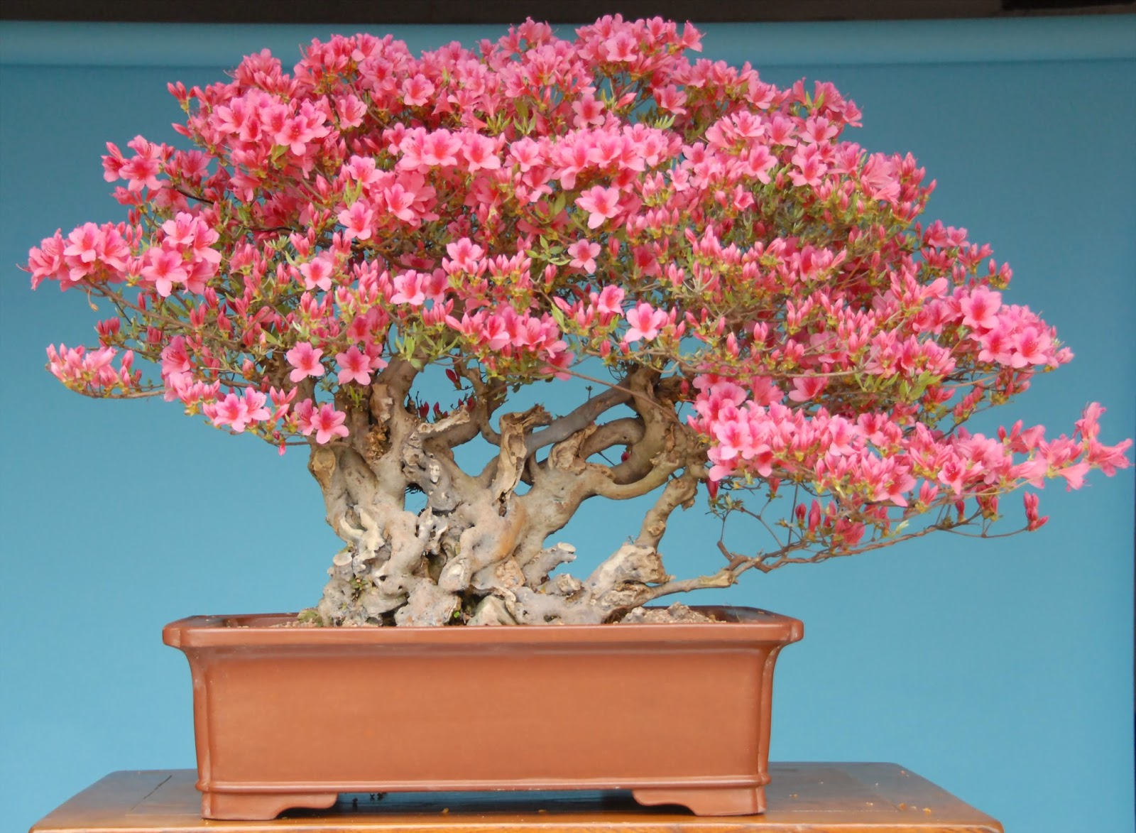 Dream Garden 3 Azalea An Pink Para Bonsai