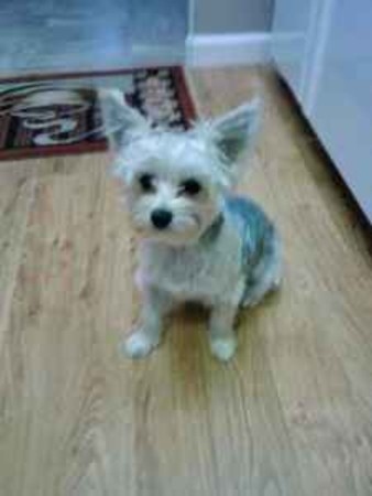 Lost Dogs Found Maggie Mae Maltese Yorkie