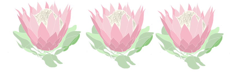 Protea Drawing