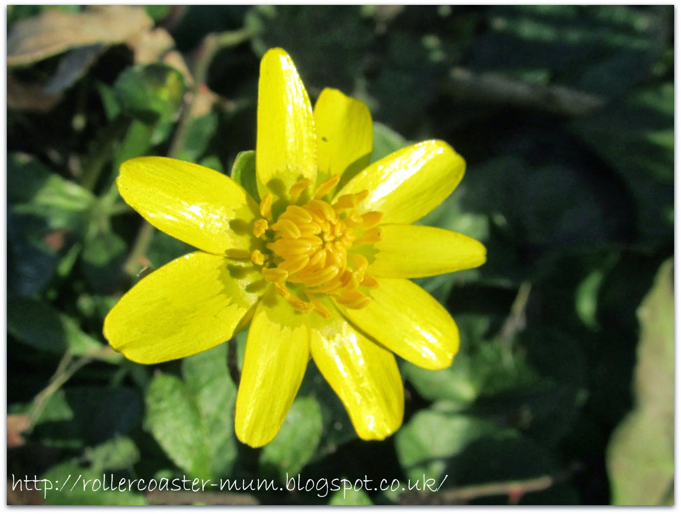 yellow Celandine flower in the sunshine