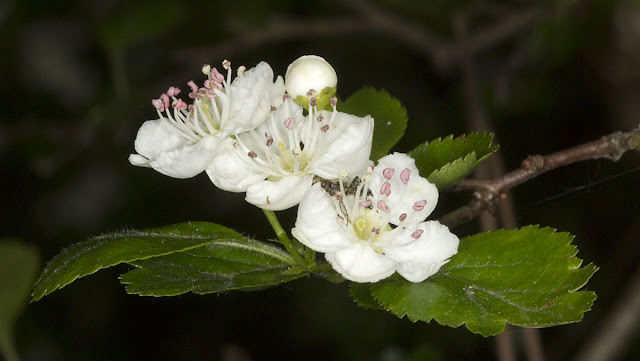 Flowers of Crataegus x media, a hybrid between C. monogyna and C. laevigata.  Joyden's Wood, 12 May 2012.