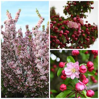 Cherry-blossom-tree-garden