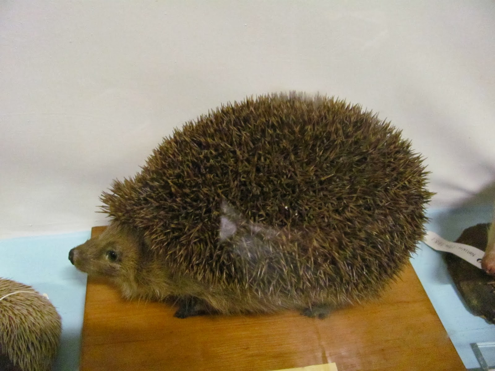 A stuffed hedgehog at the Natural History Museum Dublin, Ireland